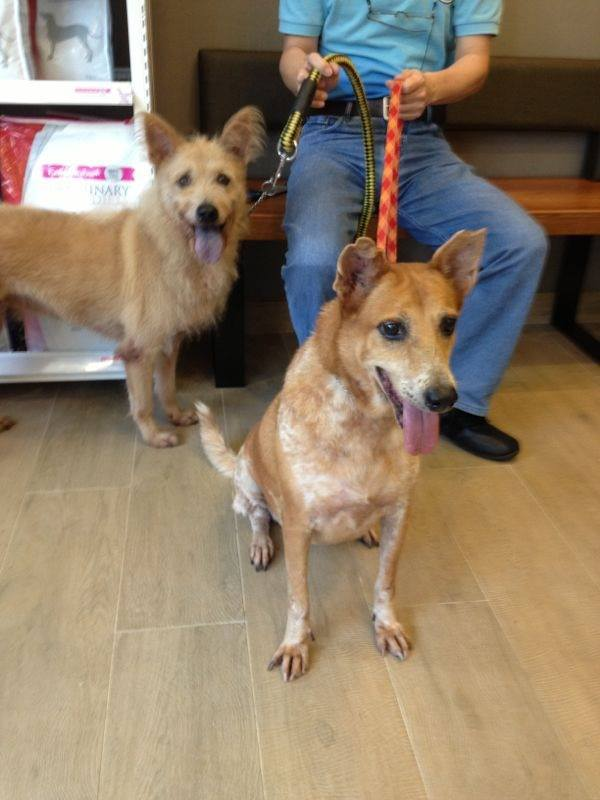 Stacy n dumbo @ Pet Drs Vet for heartworm treatment