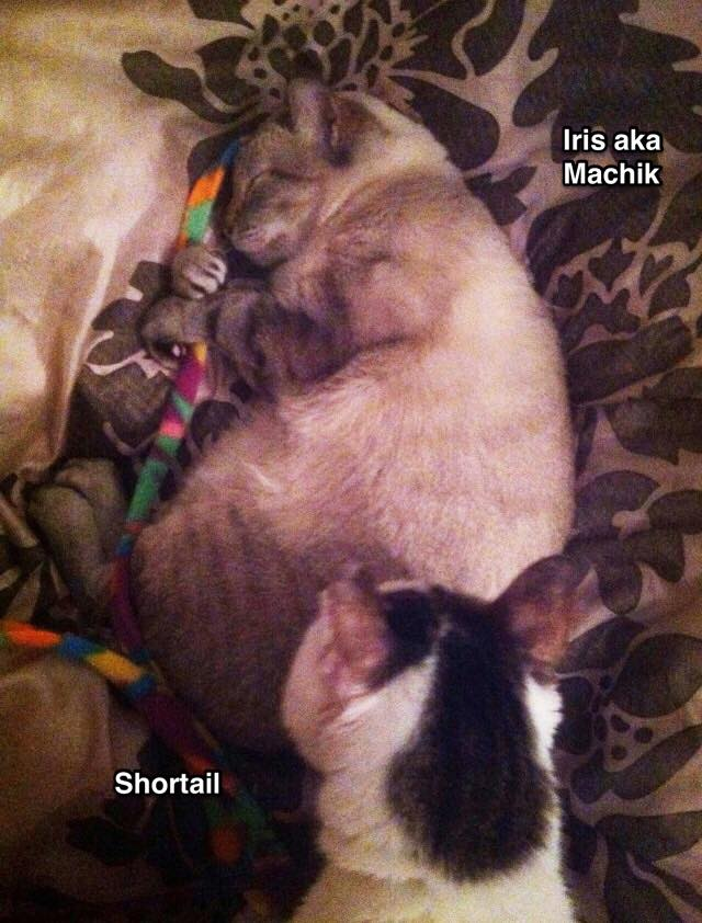 """Cherlyn Ng: """"update on Iris taken last night hugging her toy to sleep with Shortail watching over her."""""""