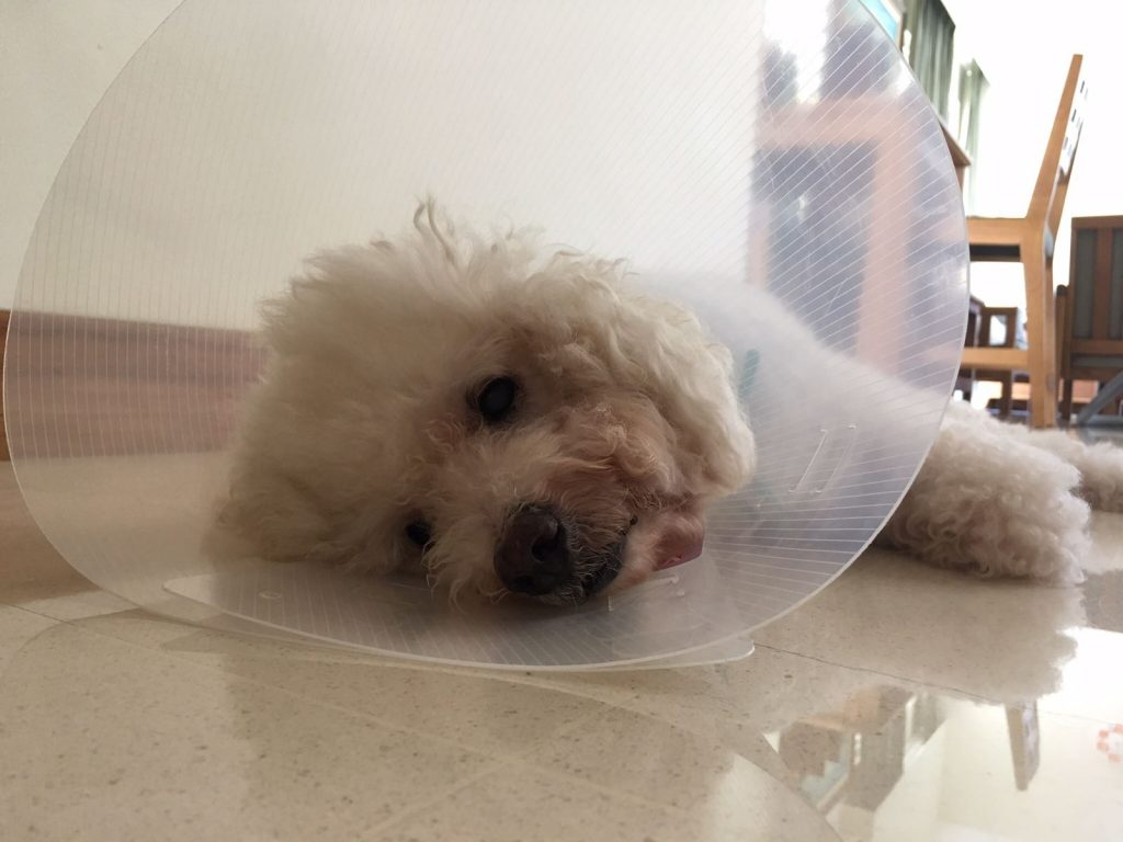 "Update from adopter of Moo-Moo ""Hi Siew Ying, Moo's front paw pad was swollen a few days ago and we have brought him to see the vet. He is recovering."" #moomcds"